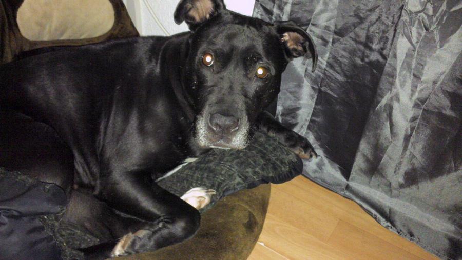 Shiwa – Listenhunde-Nothilfe